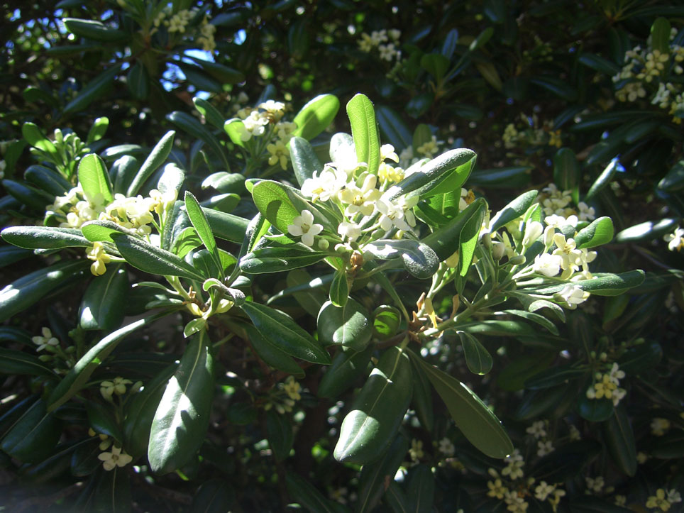 Pittosporum
